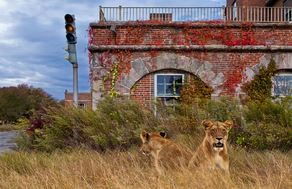 wildlife animals Wild Encounters apocalypse wolf Whale lion FOX possum deer racoon bear Yannick Bindert Photo Composite