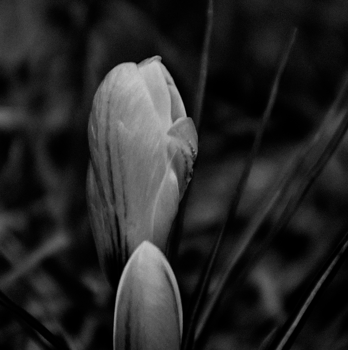 Crocus in the park
