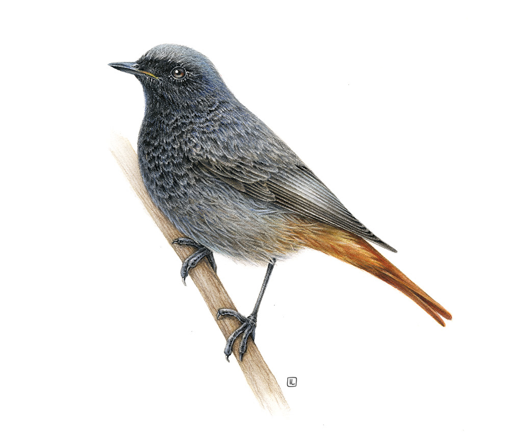bird fauna inspiration watercolor naturalistic realistic commercial ILLUSTRATION  book Europe