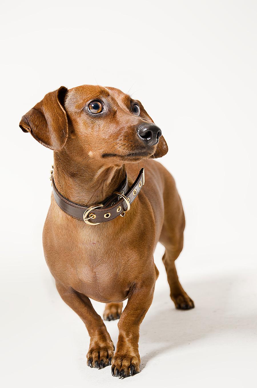 cão em quadrinhos sanremo dog photography  pet photography Product Photography pets