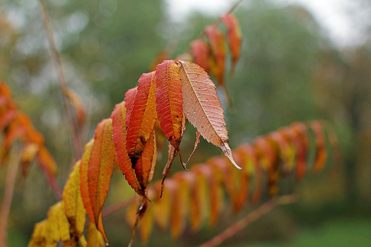 Czerwone jesienne liście na tle mgły.