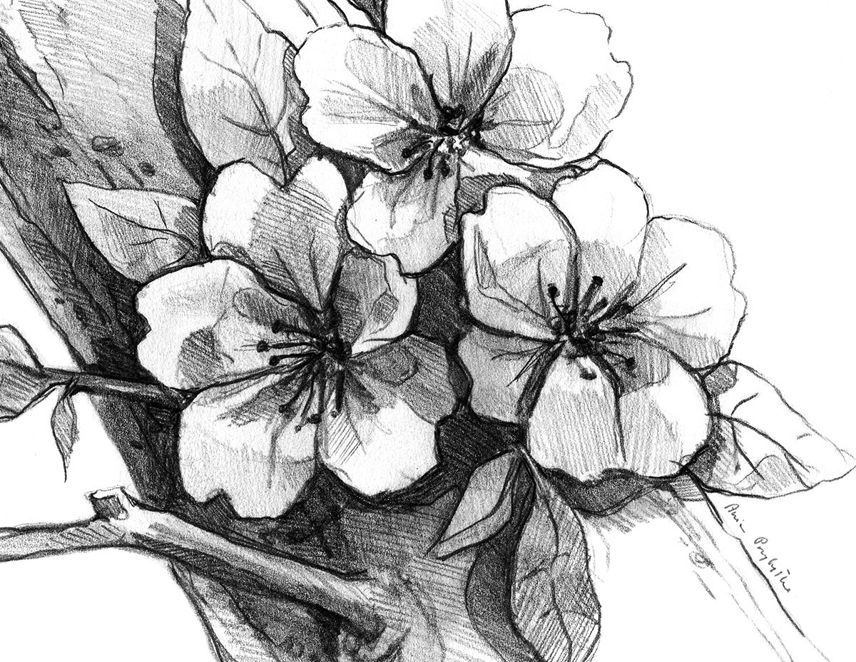 Cherry blossom drawing in pencil on behance
