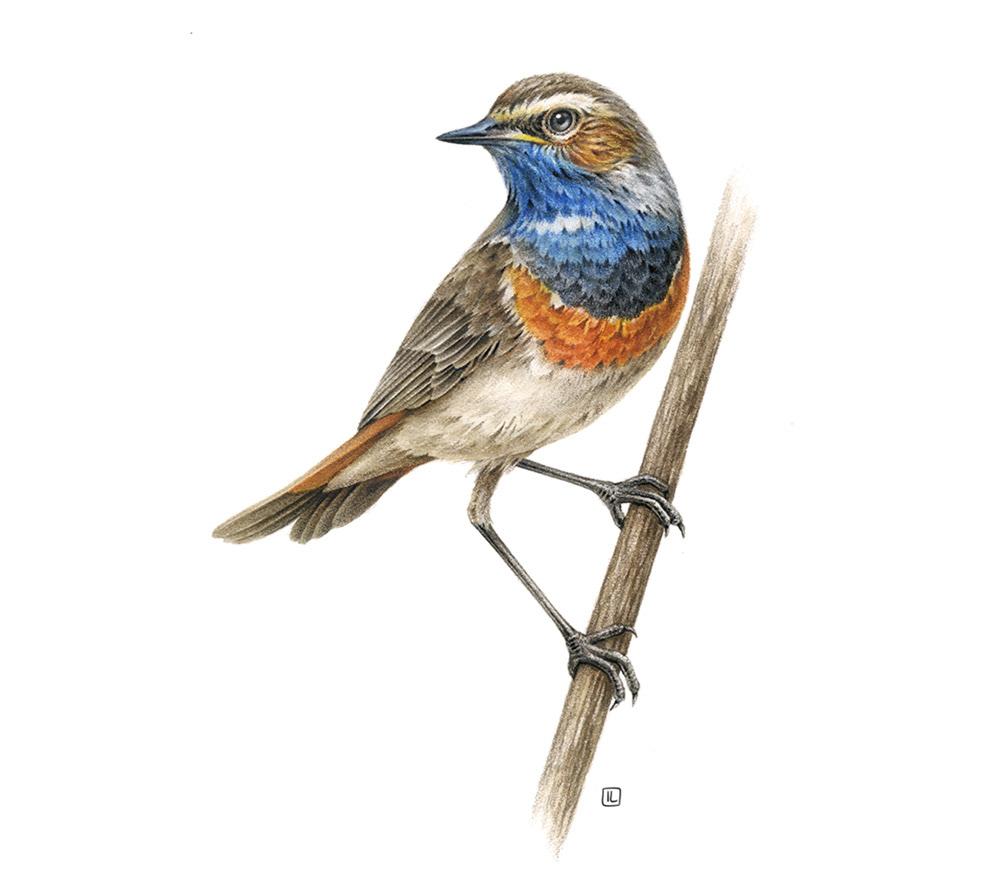 bird,fauna,inspiration,watercolor,naturalistic,realistic,commercial,ILLUSTRATION ,book,Europe