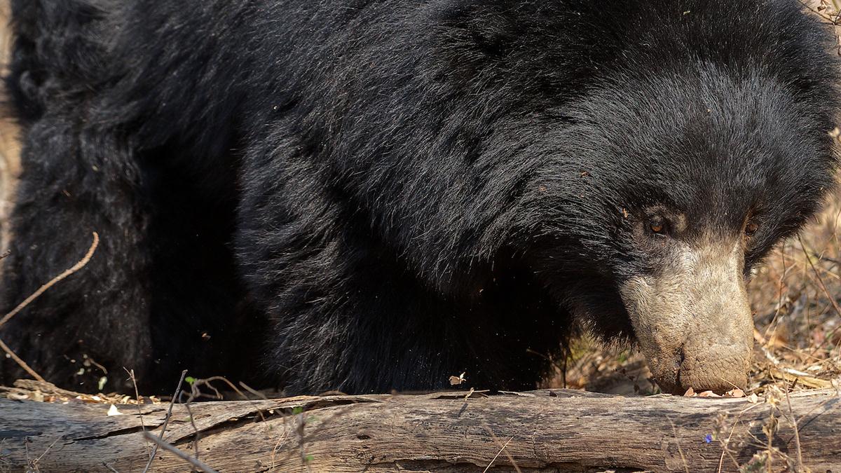 Image may contain: bear, animal and black