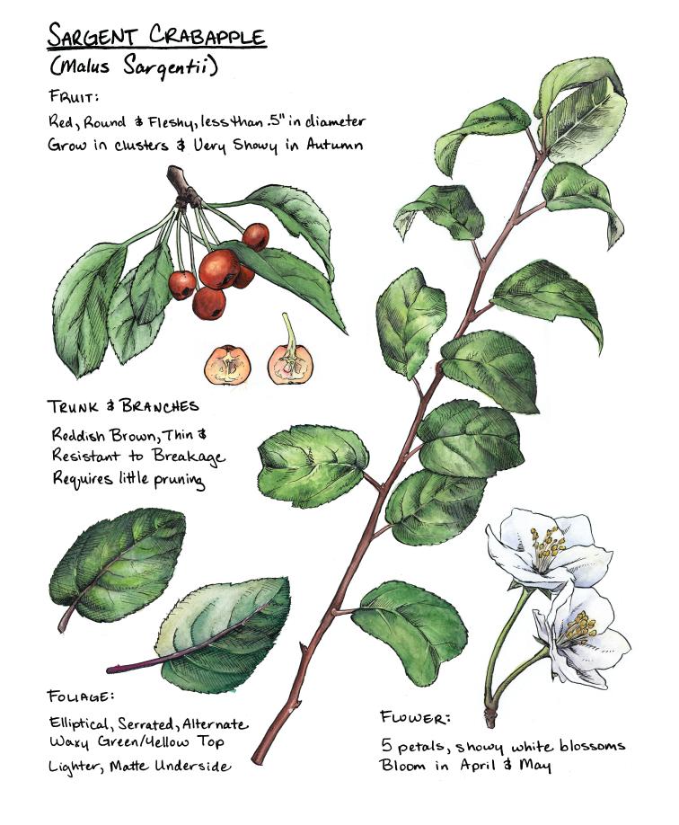 scientific illustration Plant Herbarium crabapple leaves branches berries ink watercolor