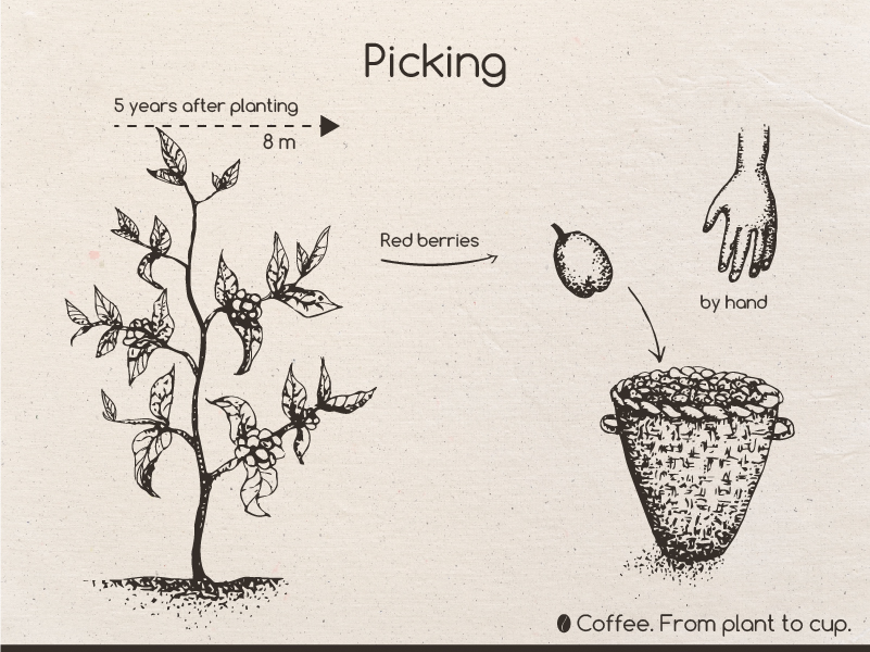 Coffee From Plant To Cup On Pantone Canvas Gallery