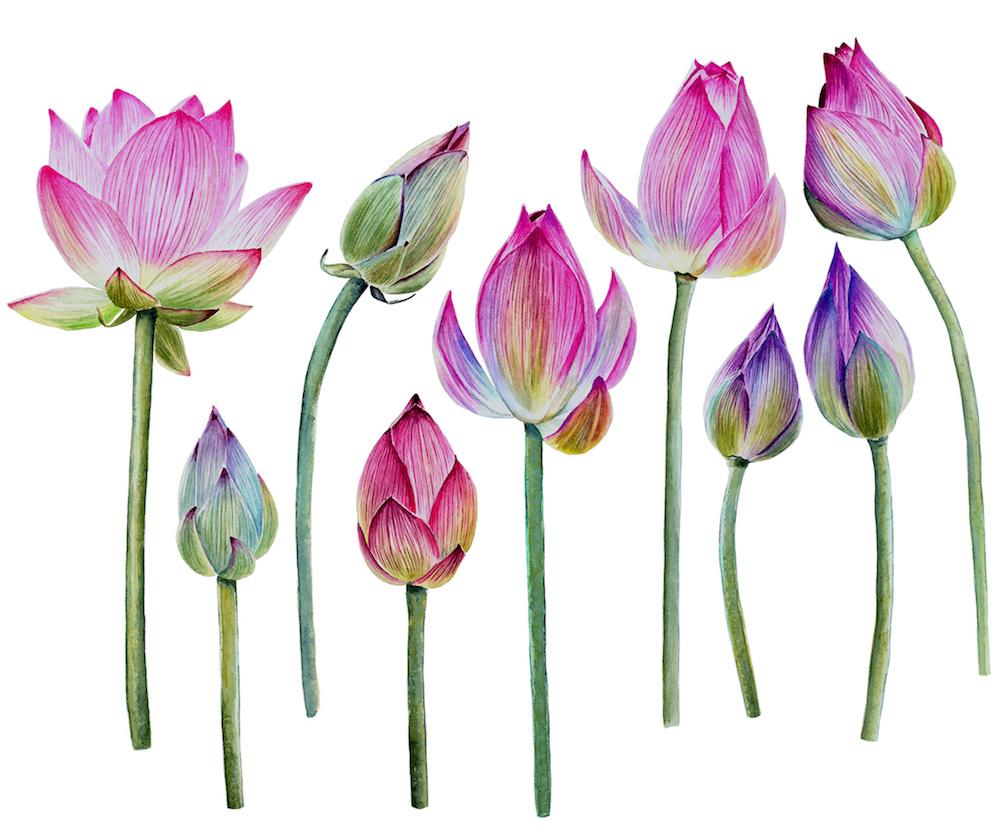 Beautiful Watercolor Lotus Flowers On Behance