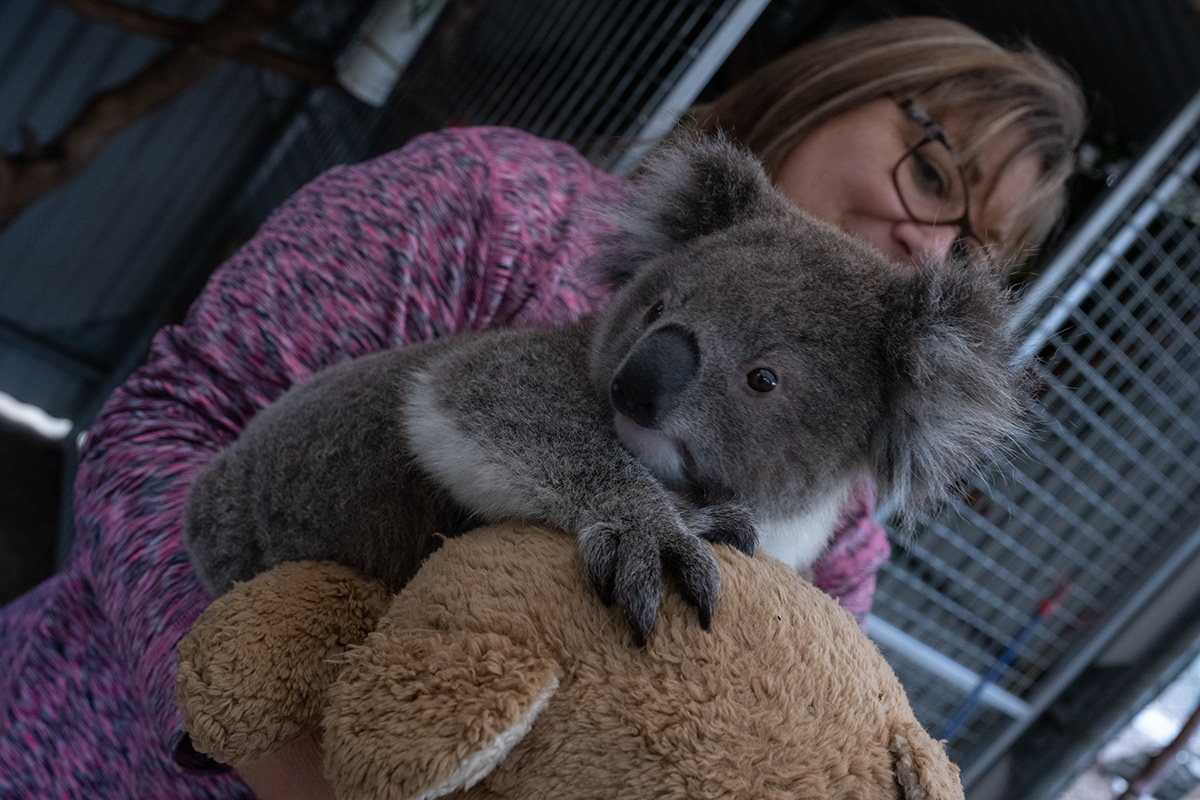 Australia Australian animal dog fire Gumleaves Island koala Native raymond island wildlife