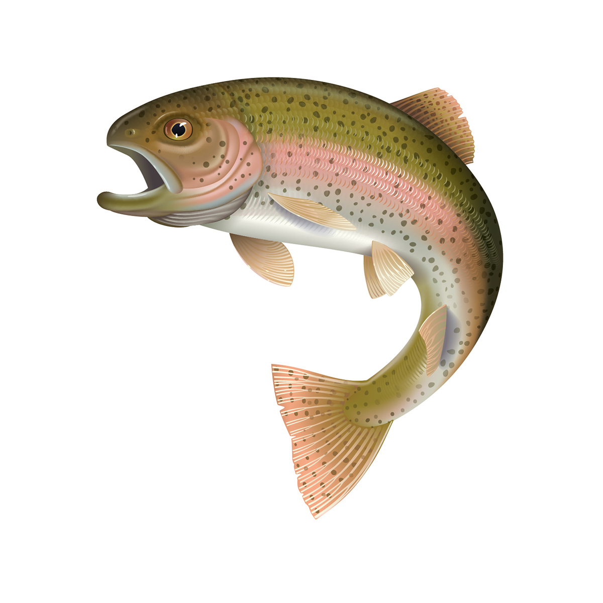 Detailed vector illustration of a rainbow trout on behance for Trout fish pictures