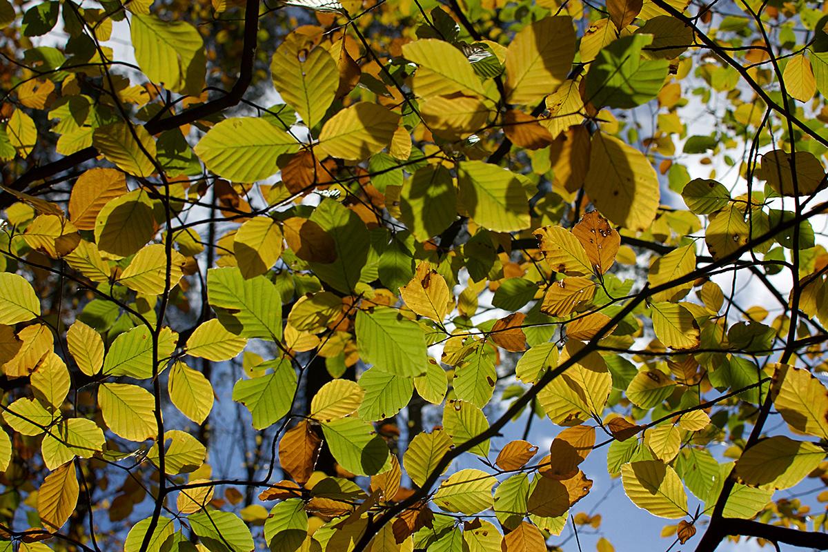 Kolorowe jesienne liście buku na tle nieba.