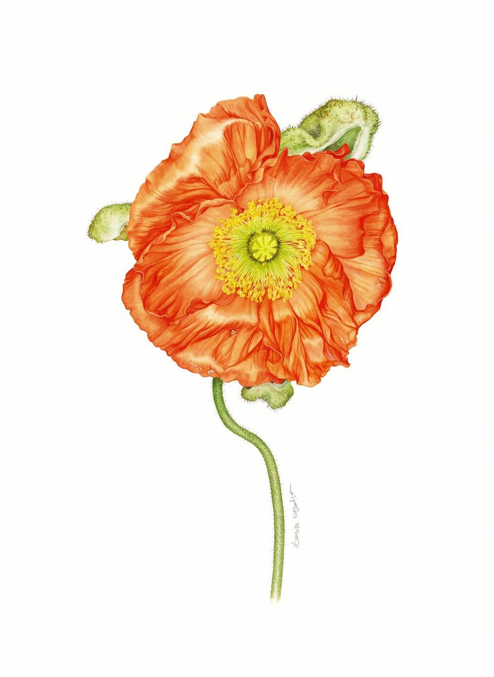 Süddeutsche Zeitung suddeutsche zeitung Magazin botanical watercolor flower floral natural realistic poppy rose