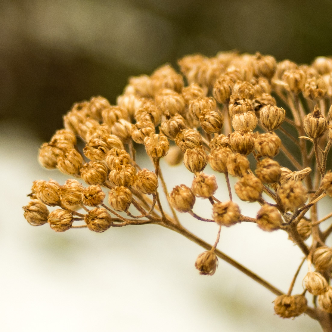 Seed Pods.