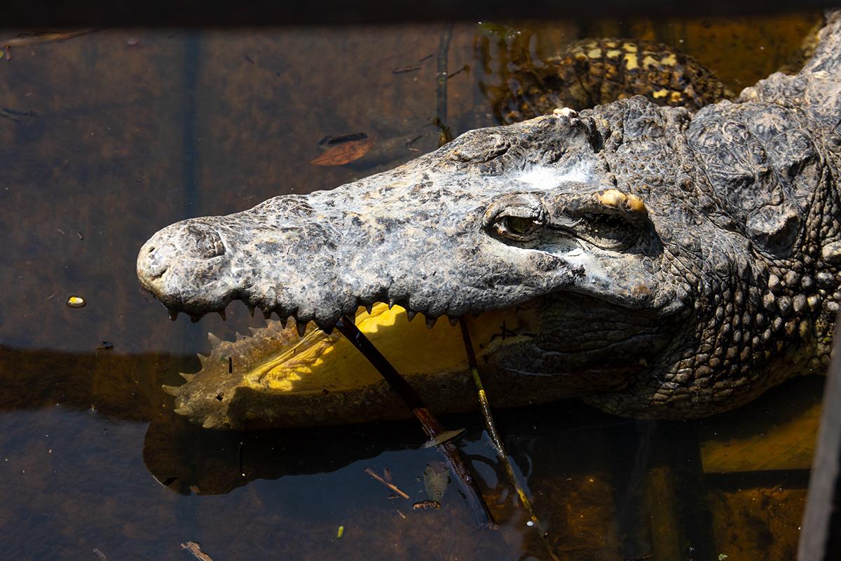 Image may contain: animal, reptile and crocodilian reptile