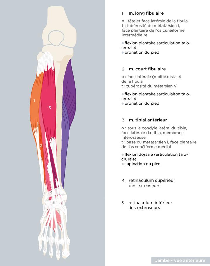 scientific illustration anatomy medicine Didactique Medecine