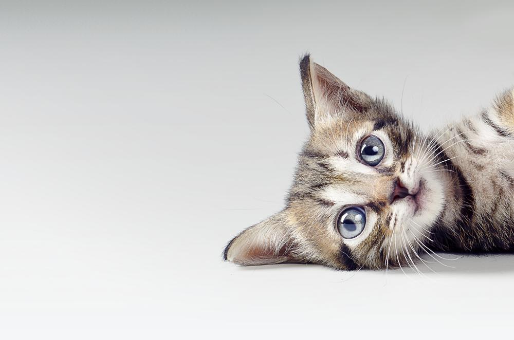 cats kitty smile pet photography kitten