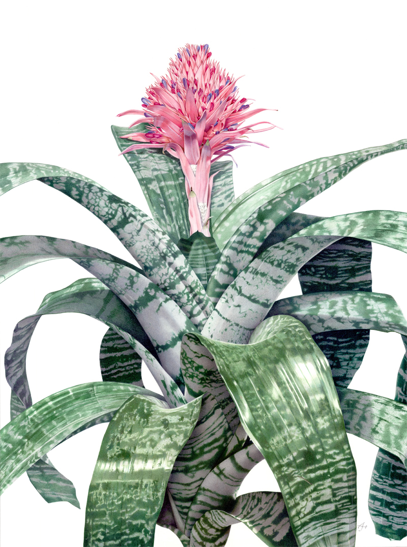 Aechmea fasciata primera bromeliad on behance for Aechmea fasciata