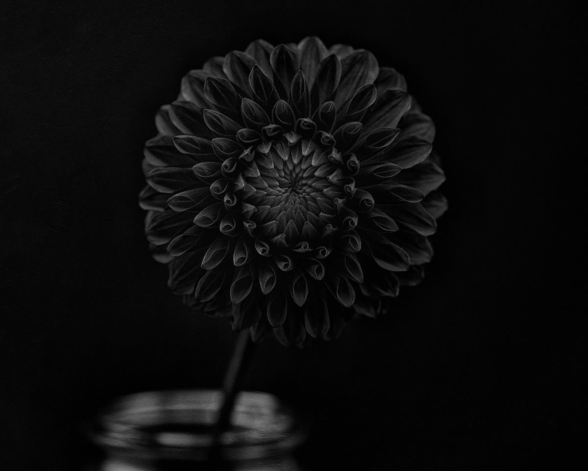 dahlia Flowers Photography