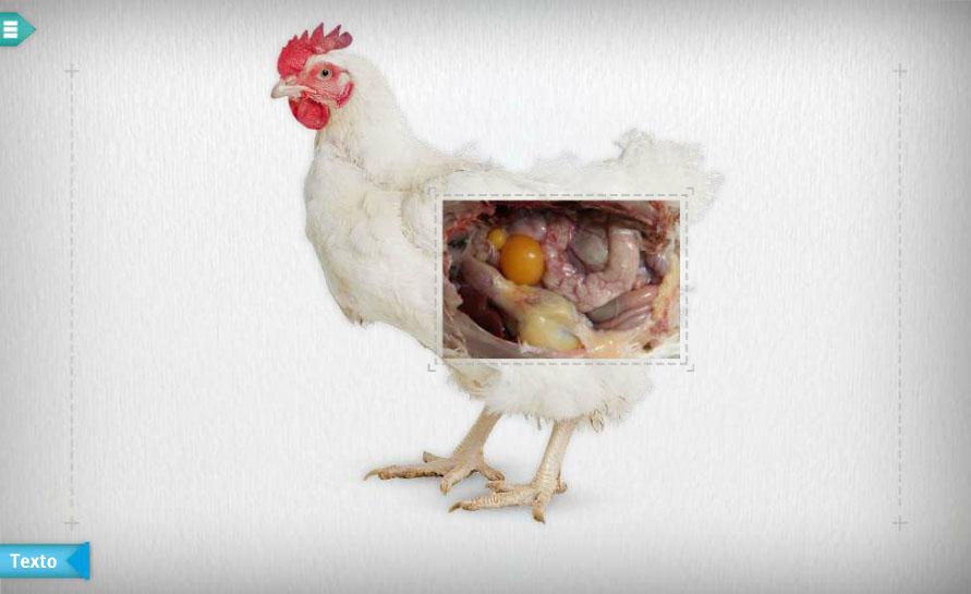 Moderno Anatomía Del Sistema Reproductor De Un Pollo Composición ...