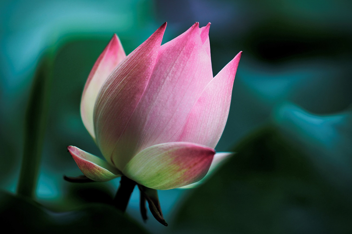 Poem of the lotus on behance the heaven dreams of beauty izmirmasajfo