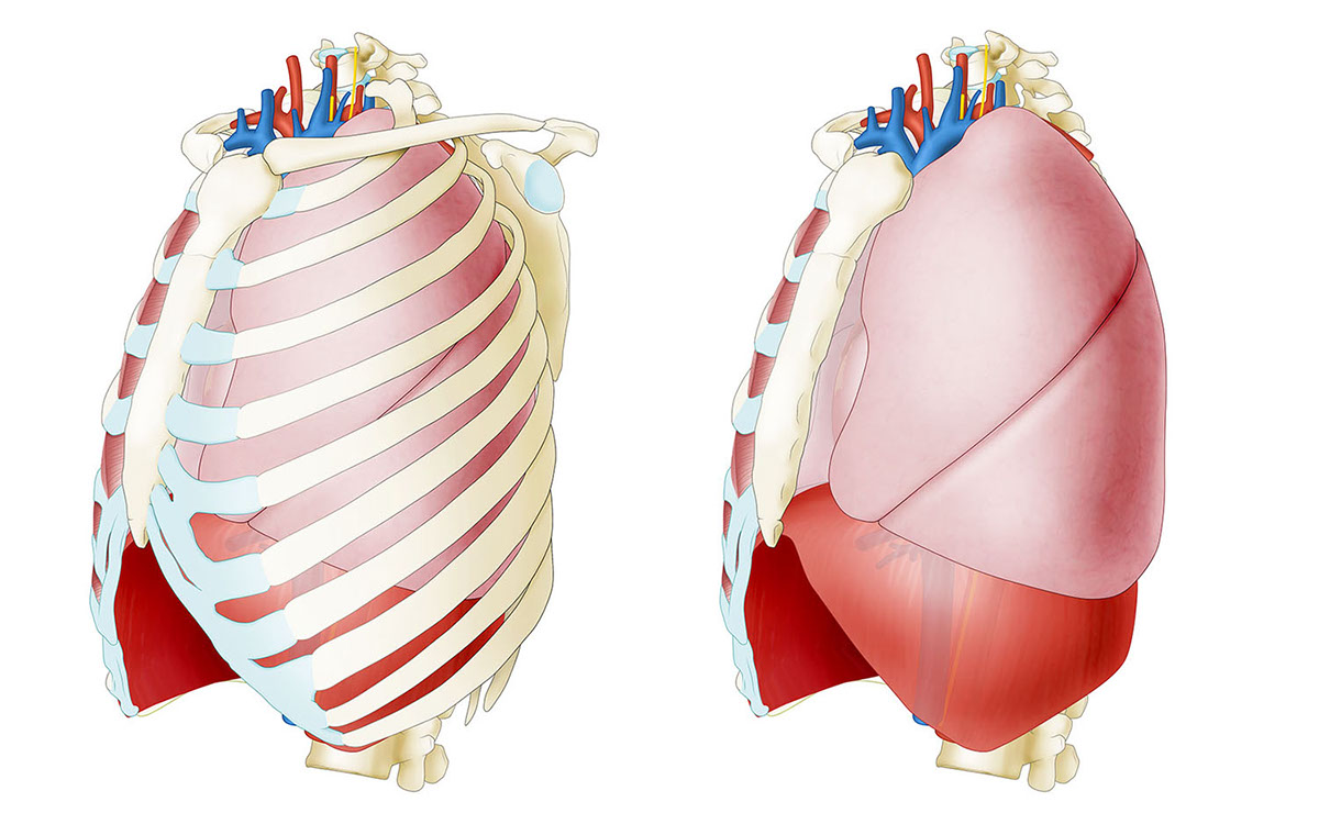Anatomical Thorax On Behance