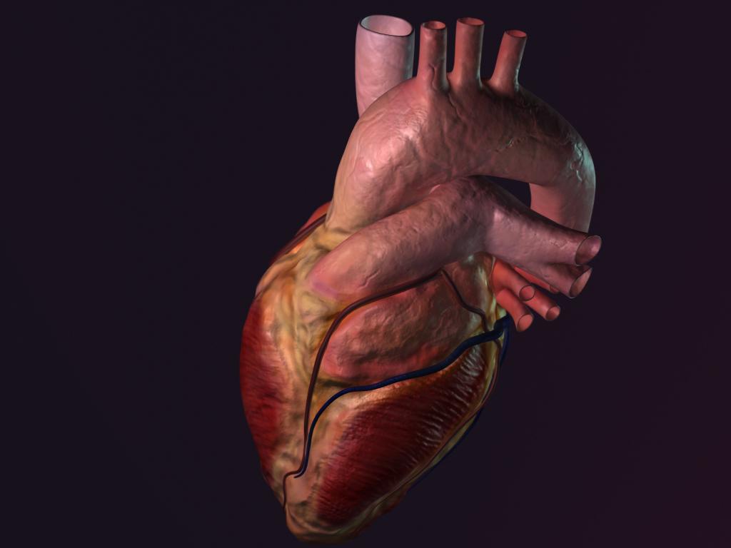 Anatomical Heart 3D on Behance