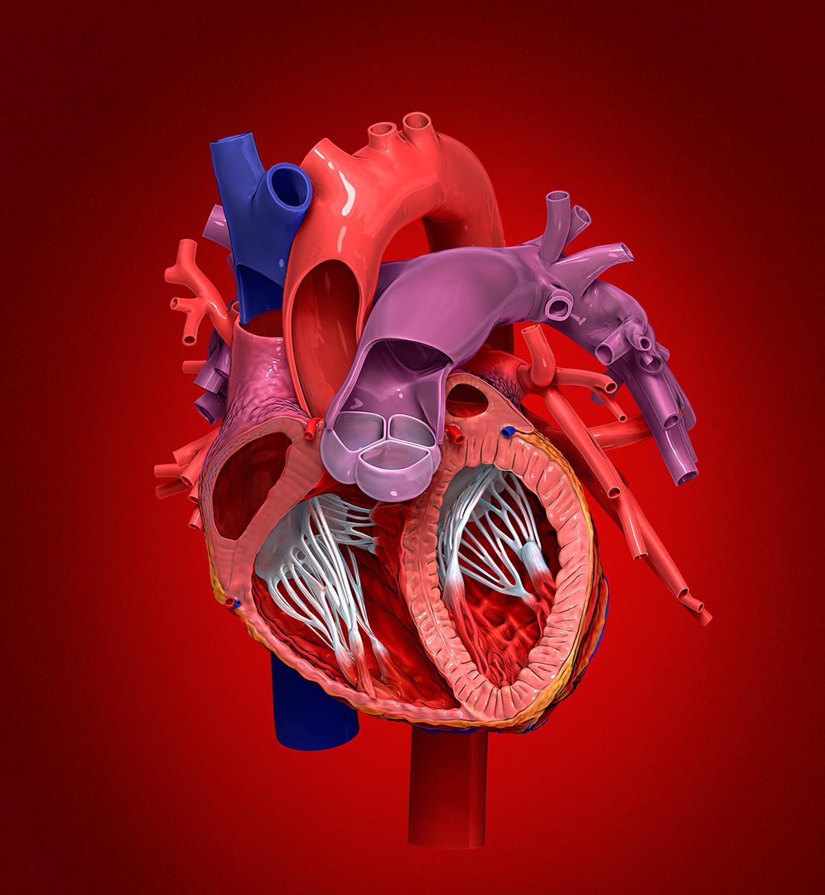 Internal Heart Anatomy On Behance