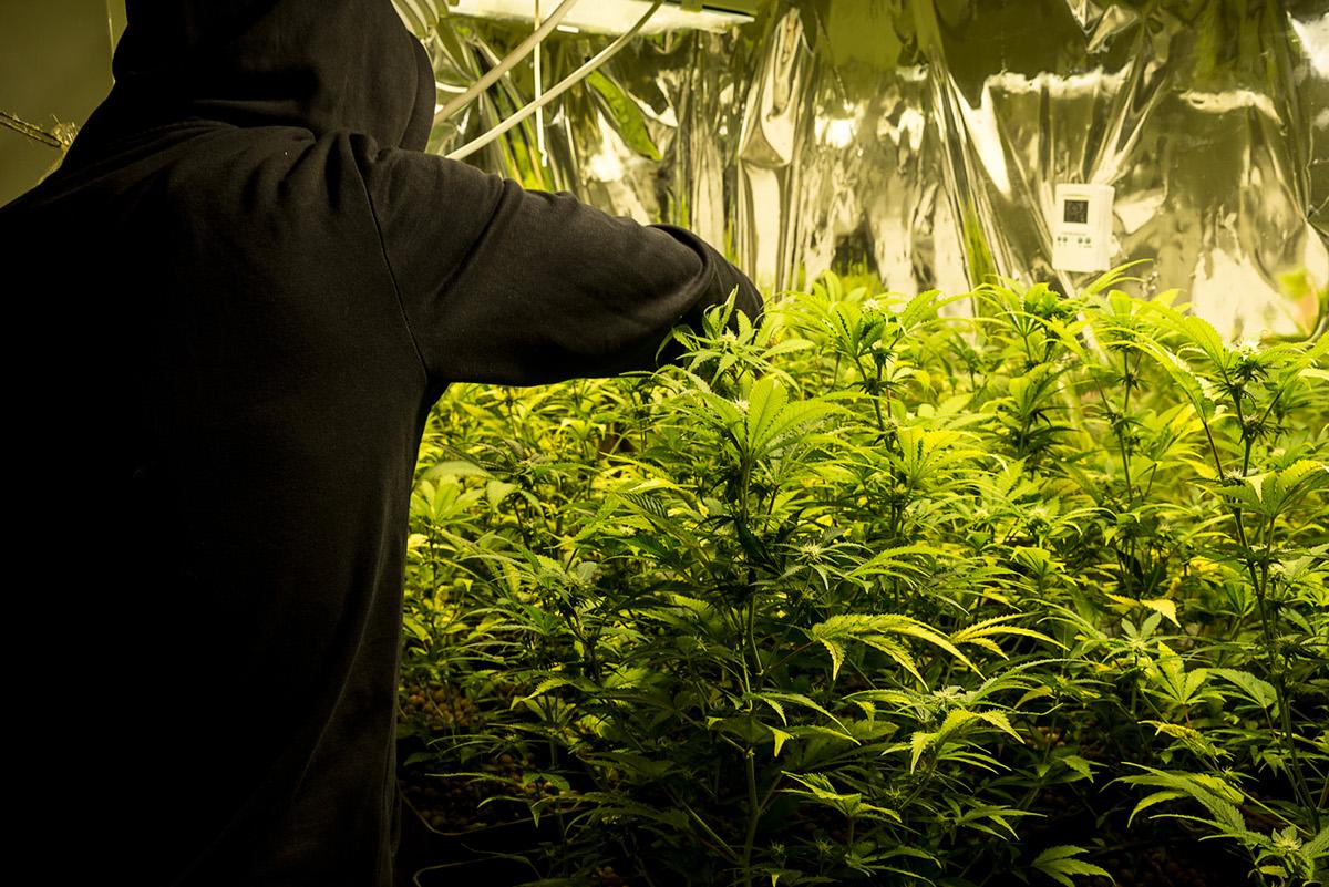 mariuhana weed grow cannabis Documentary  hashish seed