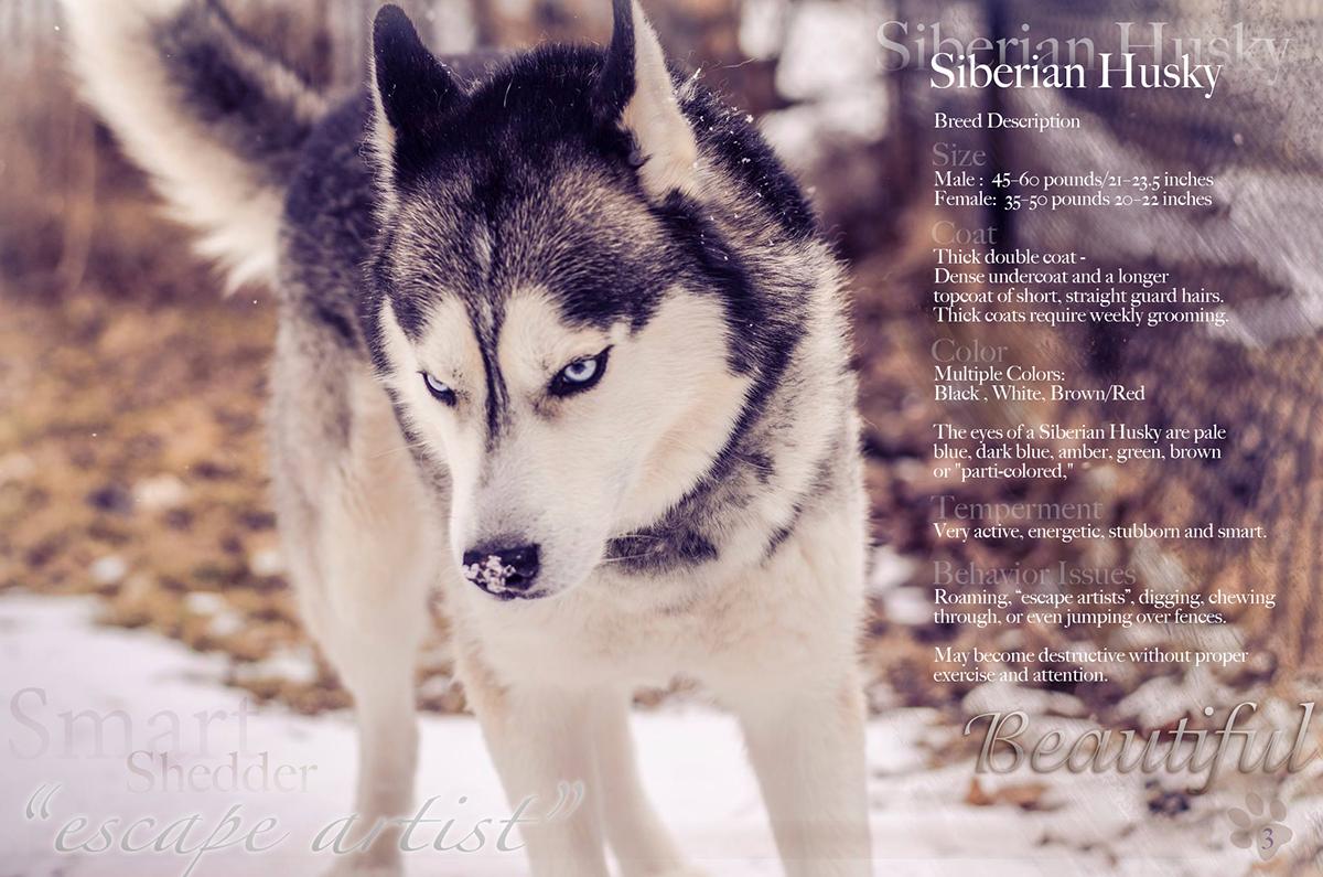Siberian Husky Page Layout On Behance