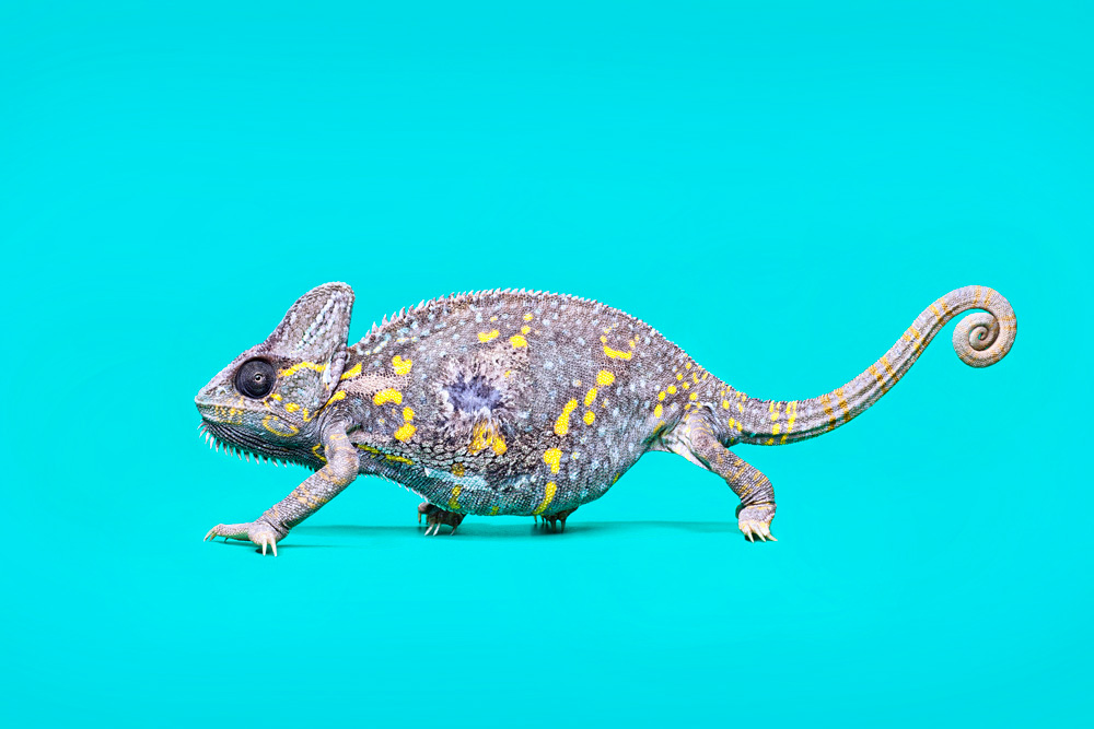 reptile,rodent,seahorse,colour,color,creatures,exotic,animals,reptiles,snakes,lizards,spiders,gekhos,chameleon