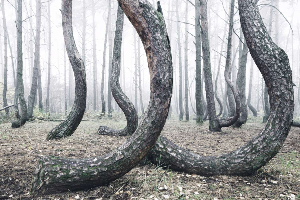 forest wood landscape photography crooked forest poland trees