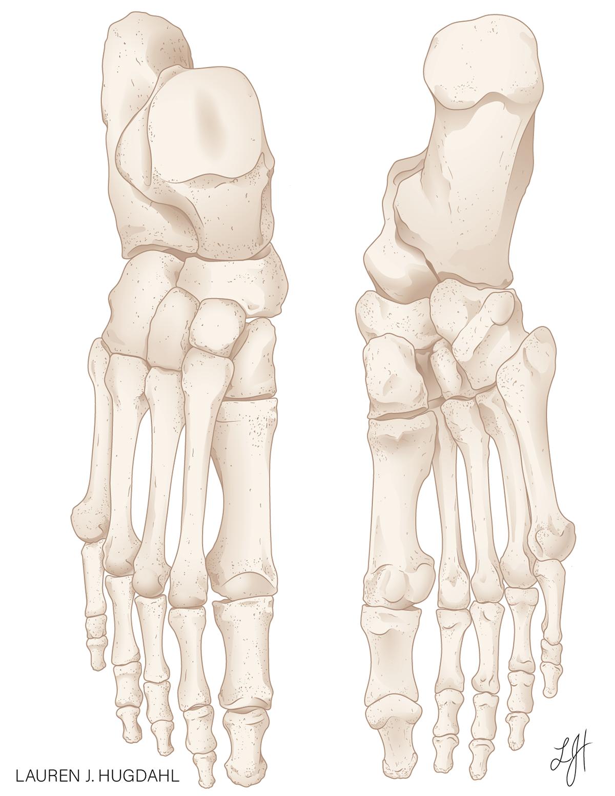 Dorsal and Plantar Skeletal Foot Anatomy on Behance
