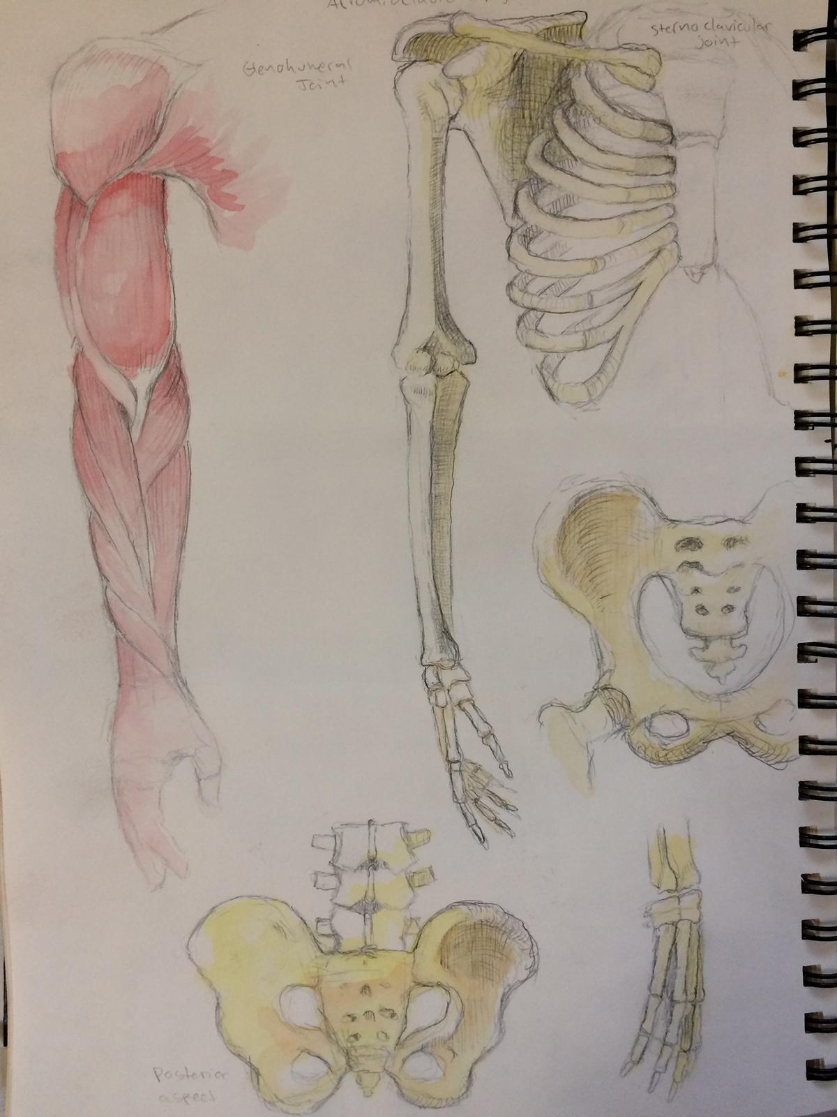 Anatomical Studies on Behance