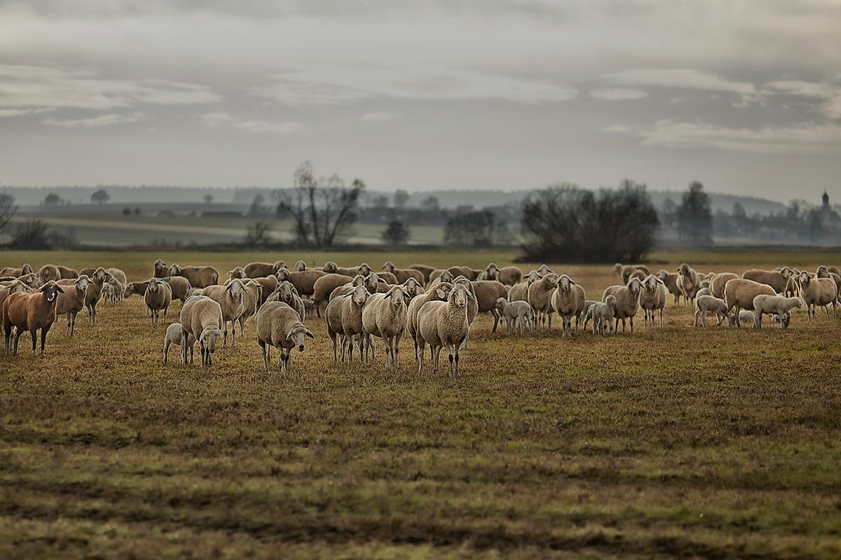 animal Landscape Nature sheep lamb flock Herd jörg marx