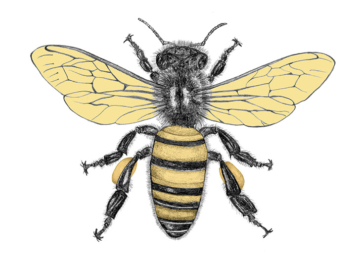 Honeybee done using graphite pencil then taken into Photoshop for added color.