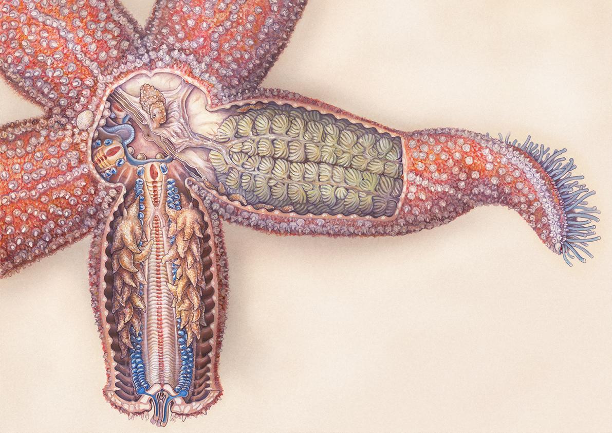 Starfish Anatomy On Behance