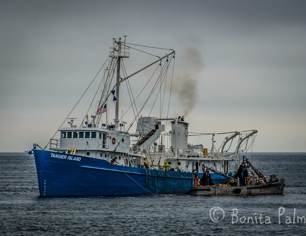 Commercial fishing in the chesapeake bay va on behance for Fishing in va