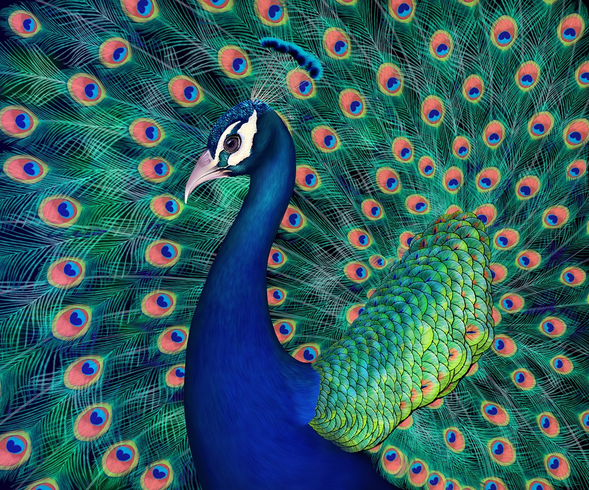 Peacock drawing on Pantone Canvas Gallery