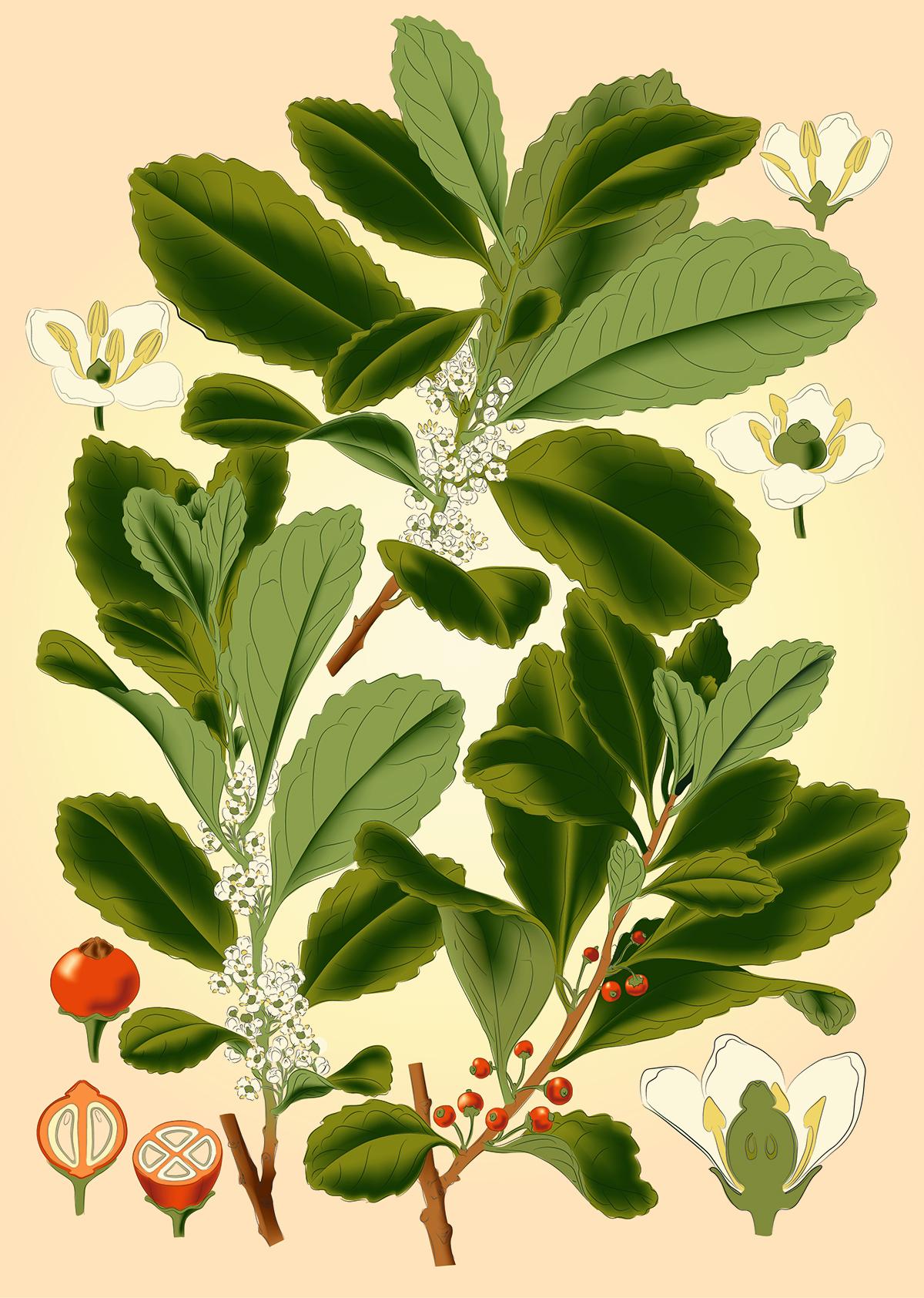 Botanik ILLUSTRATION  Illustrator Mate Strauch Plant pflanzen
