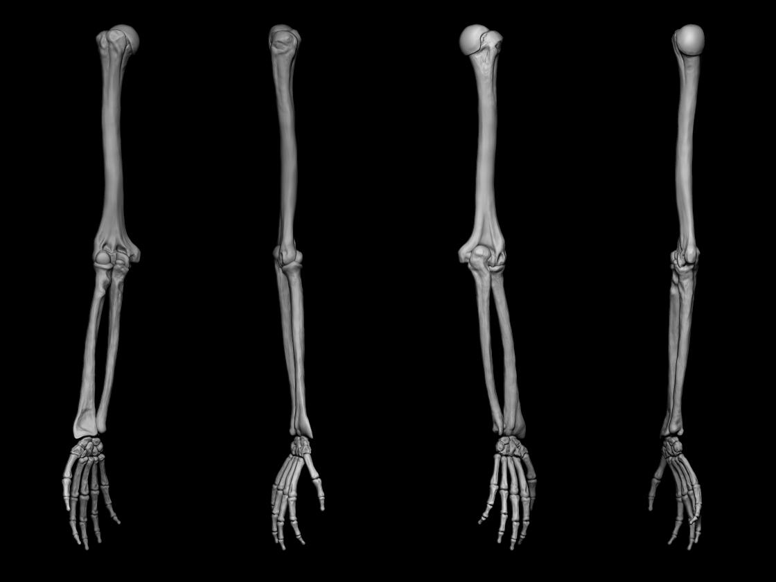 Anatomy studies - Bones of the upper limb on Behance