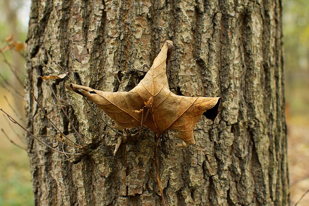 Suchy jesienny liść zaczepiony na pniu drzewa.