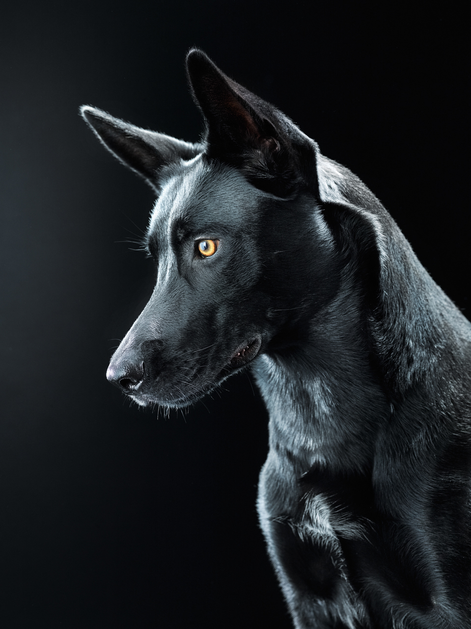 black dog bagheera on behance