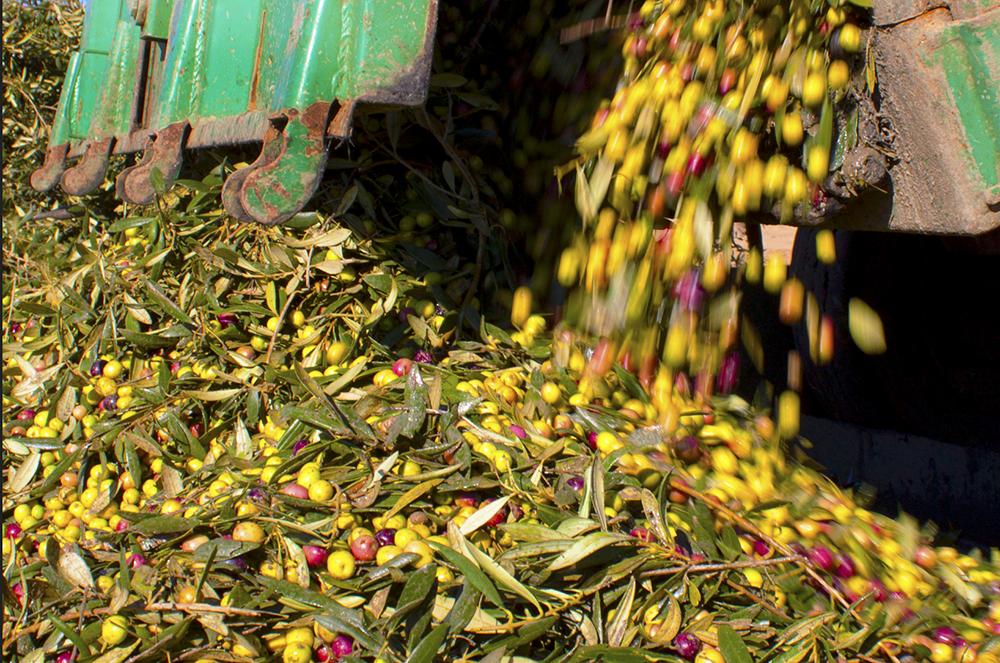 Olive Oil oil olive logo serpa alentejo