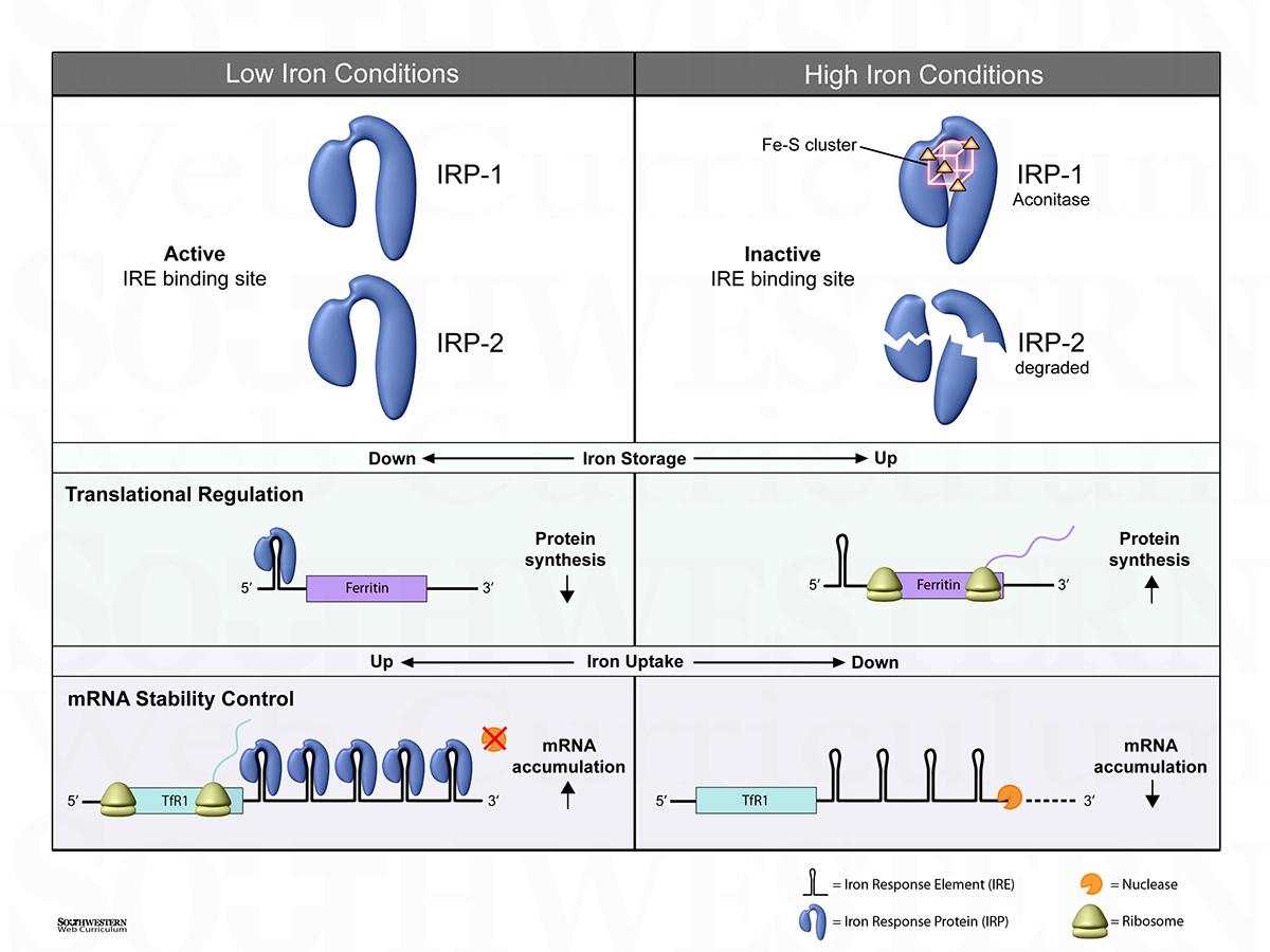 Iron and Heme    Biochemistry       Diagrams    on Behance