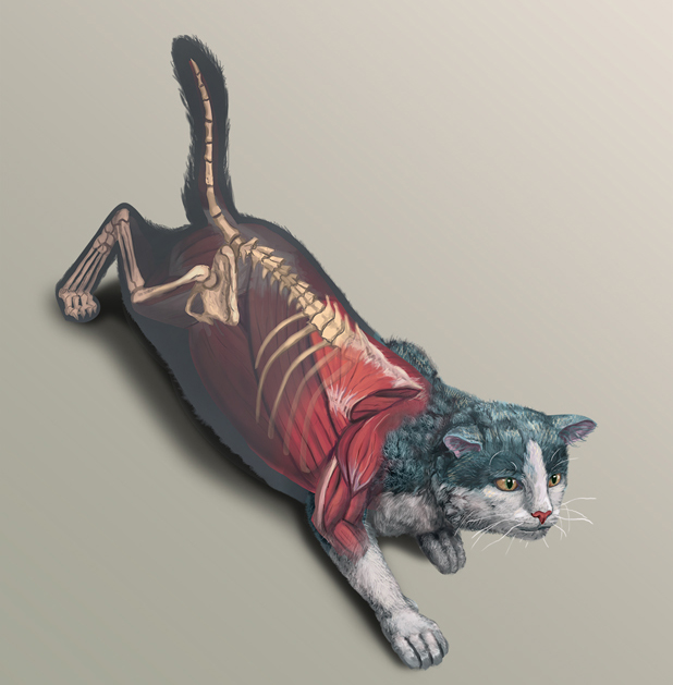 Illustrated Anatomy Of The Cat On Behance
