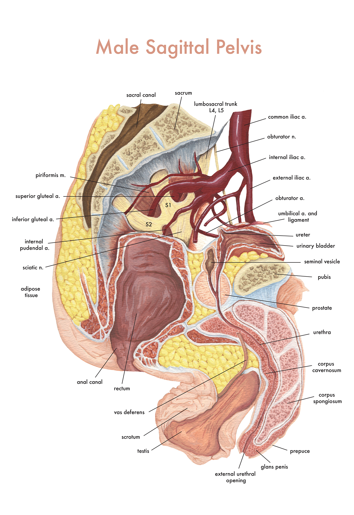 as part of my medical illustration education, i had the privilege of taking  a gross anatomy course including human dissection