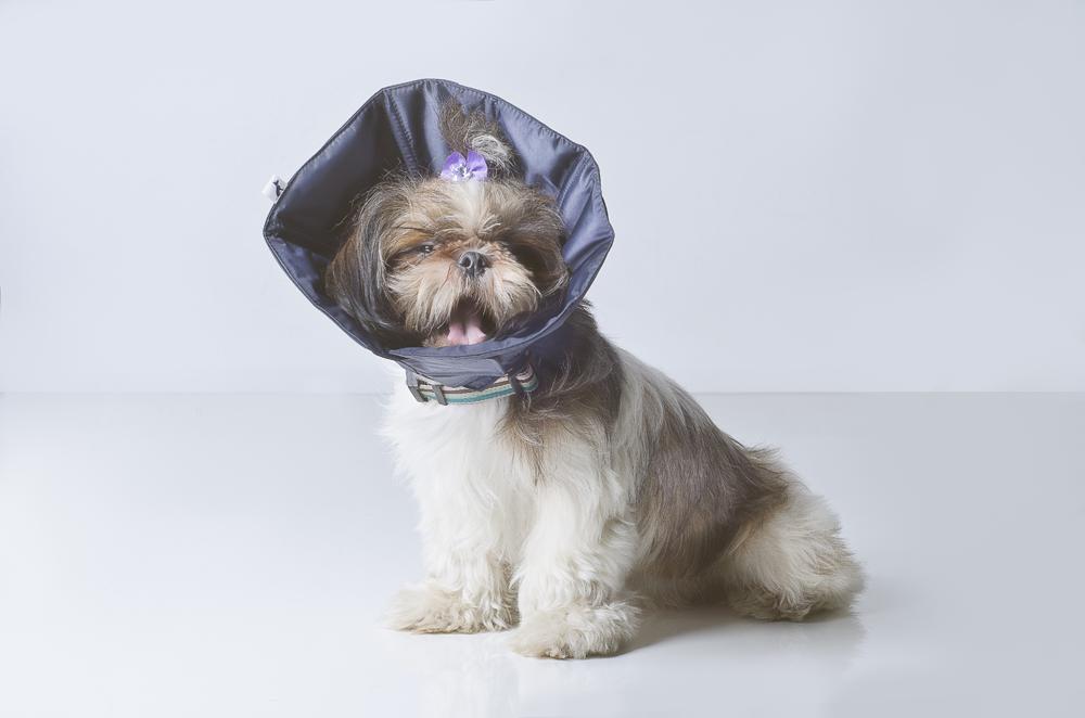 cão em quadrinhos pet photography Cone of Shame dogs cats