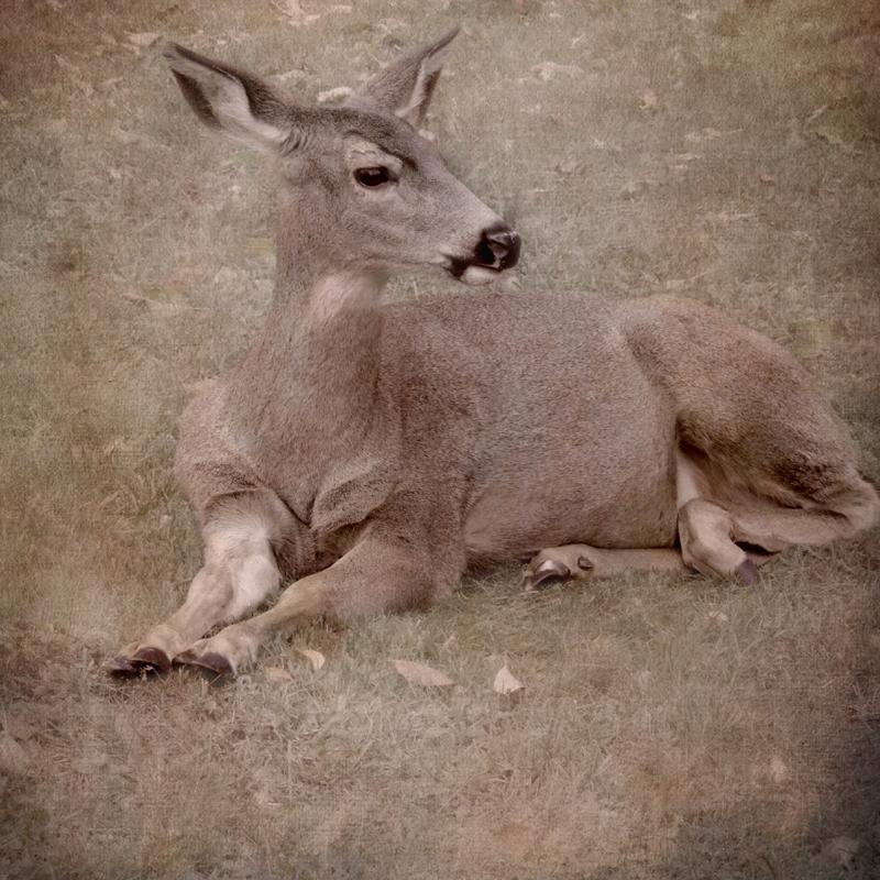 deer Deer Photography antlers fawns doe Sally Banfill