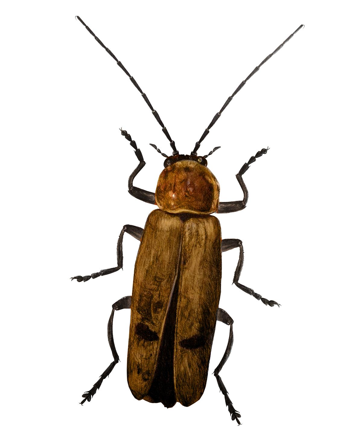 beetles scientific illustration on behance