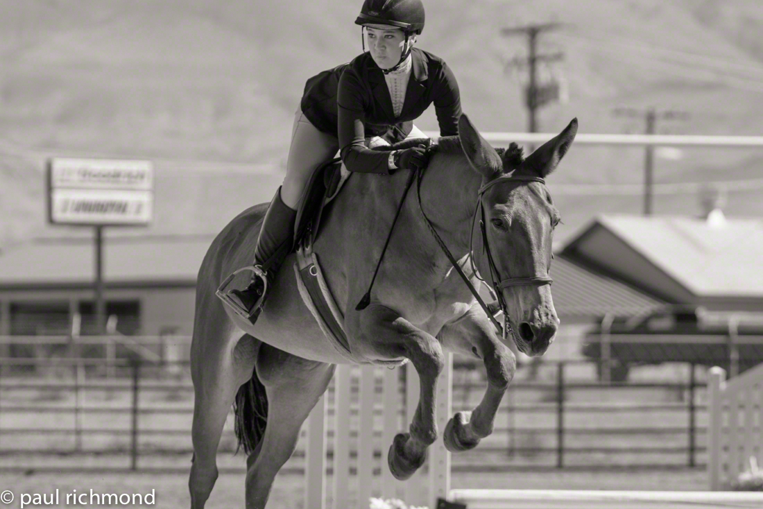Horse Show horse show photograph Sport Photography monochrome photography mule english riding rare sights animal photography