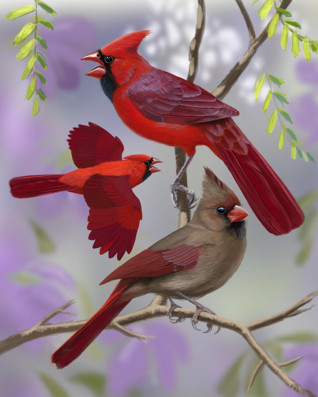 Winter Cardinal Bird Drawing by Heather Mitchell  |Cardinal Bird Drawings